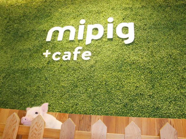 日本初!マイクロブタと触れ合える「mipig cafe」