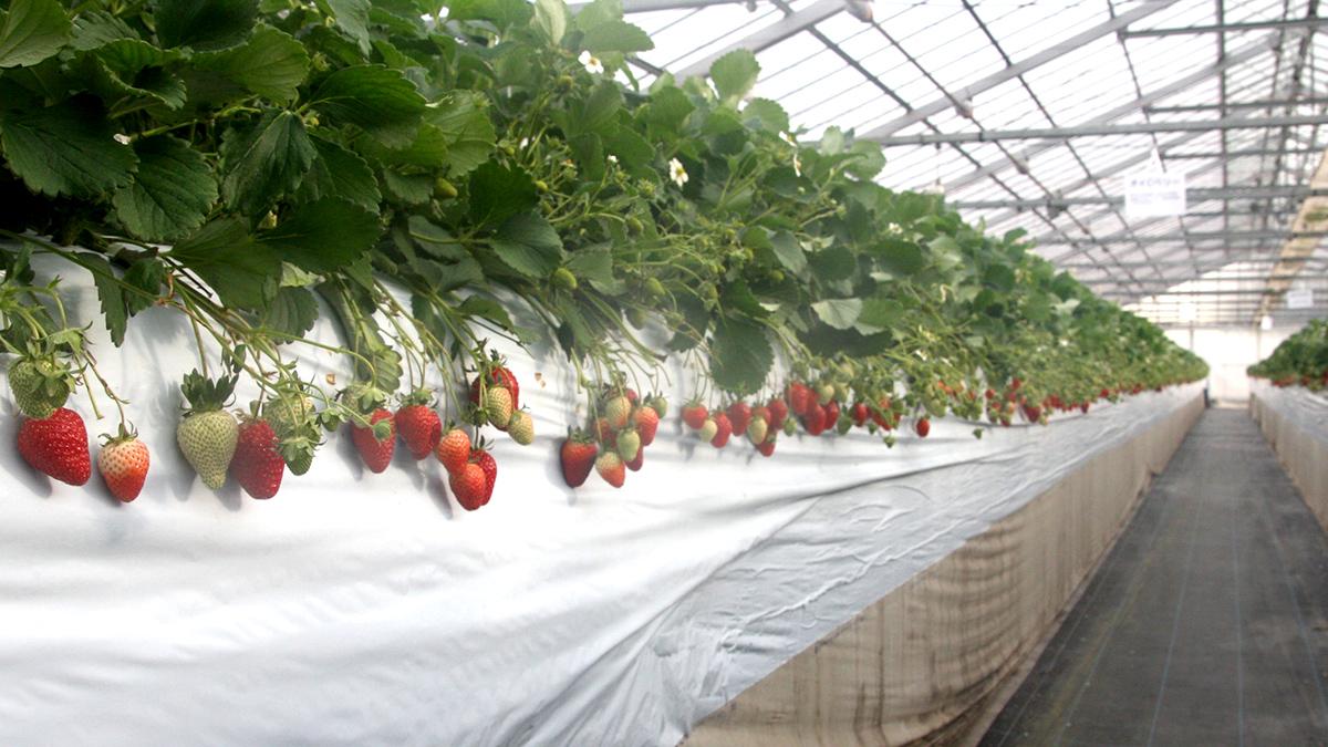 徳江いちご農園 一面の苺